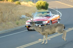 deer-and-car_100324859_m